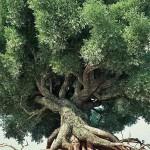 Tentava di rubare olive a Villa Castelli. In manette 25enne cegliese