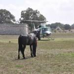 Cavallo murgese, gli allevatori chiedono più sostegno alla Regione