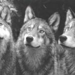 Convivere con i lupi. I risultati del monitoraggio del progetto UPPark