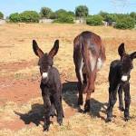 Cavallo murgese e asino martinese: Ancona incontra gli allevatori