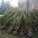 Locorotondo: pronti 30 alberi di Natale per le attività commerciali