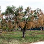 """Xylella. Regione Puglia: """"Le misure fitosanitarie obbligatorie di aprile sono indifferibili e di pubblica utilità"""""""