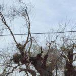 Ulivi colpiti dal batterio Xylella a Gallipoli (Lecce), 5 maggio 2015. ANSA/ PIER DAVID MALLONI
