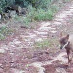 Parco Terra delle Gravine: arriva la conferma scientifica, sul nostro territorio ci sono branchi stanziali di lupi