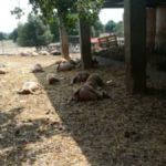 Strage di pecore in una masseria a Martina Franca. Allevatori chiedono maggiori tutele