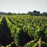 Il vitigno più diffuso in valle d'Itria